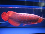 ASIAN RED, SUPER RED, JARDINI, CHILI RED, GOLDEN AROWANA AND EVEN ON EGGS